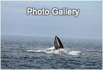 Nova Scotia Whale Watching Photo Gallery